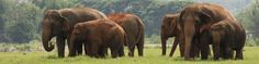Beyond the concrete jungle of Chiang Mai, Thailand, lies an entirely different jungle: Elephant Nature Park. ENP is a sanctuary for rescued Asian elephants.