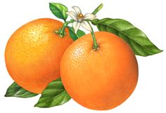 Schneider Stock Illustrations Citrus Fruit Illustrations Available for Stock Use