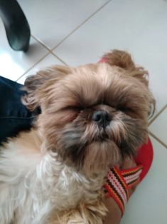 The origin of Shih Tzu is ancient and is covered in a lot of mystery. It has been established that this dog is among the 14 oldest breeds and bones excavat Baby Shih Tzu, Maltese Shih Tzu, Shih Tzu Mix, Shih Tzu Puppy, Shih Tzus, Cute Puppies, Cute Dogs, Baby Animals, Cute Animals