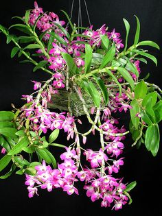 Dendrobium Mem. Claire Provost by David in SWGA, via Flickr
