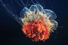 Impressive Jellyfish Photography by Alexander Semenov