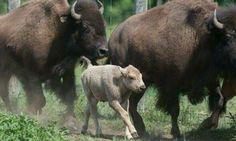 Buffalo Family with Sacred White Calf