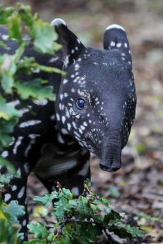"""Malayan Tapir. Visit on Facebook: """"Animals are Awesome"""". Animals, Wildlife, Pictures, Photography, Beautiful, Cute."""