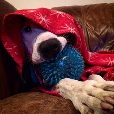 Mystic Flea ... #staffylove #englishbullterrier #batterseadogshome #batterseawindsor