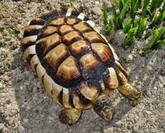 Marginated tortoise captive grown very different shell from normal natural grown
