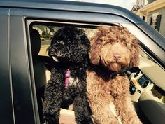 Two happy DownUnder Labradoodles from our girl Piper. Labradoodles, Our Girl, Puppies, Happy, Animals, Cubs, Animales, Animaux, Labradoodle