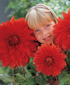 Big Wow Dahlia Bulb » Wow! this is enormous!!