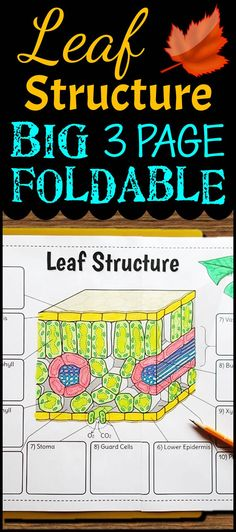 This Big Leaf Foldable is a great way to teach leaf structure with the option of also teaching the chloroplast as well.  The large format gives students the ability to record all of their descriptions in one large graphic organizer. This foldable is great for teaching a lesson on the leaf and great for using as a study aid for test prep once it is complete.  Students are sure to have fun learning and be engaged with this resource.