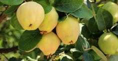 Home Remedies, Natural Remedies, Blowing Wind, Salvia, Health Tips, Pear, The Cure, Flora, Apple