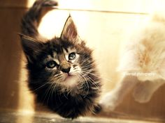the birdcage maine coon    photo by reneeroot