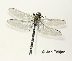 Jan Fekjan: Øyenstikker (Aeshna juncea) Dragonflies, Giclee Print, Fine Art, Prints, Animals, Animales, Animaux, Dragon Flies, Visual Arts