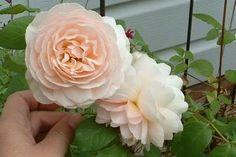 Sweet Juliet - David Austin Rose