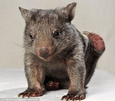 Yogi is an orphaned wombat in Australia. His caregivers are looking for a wombat buddy to teach Yogi important wombat tricks. Baby Wombat, Baby Sloth, Baby Animals, Cute Animals, Animal Babies, Fur Babies, Quokka, Cute Characters, Guinea Pigs