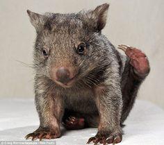 baby wombat - too cute~