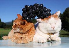 Grape on SHIRO and CHATORA :) From: http://kagonekoshiro.blog86.fc2.com/