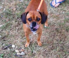 Cookie is an adoptable Beagle Dog in Derry, NH. Cookie is a Puggle and boy is she cute. She is about 5 years old and was surrendered to us with 3 pups. She is a wonderful dog. She does great with othe...
