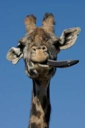 giraffe with tongue out - Google Search