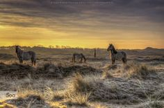 At a beautiful morning by klaasfidom  500px Dunes Holland Horses Landscape Morning North Holland Sun Sunlight Sunrise Dutch dunes At a bea