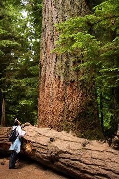 "There are some pretty big trees in Cathedral Grove on Vancouver Island! ""Cathedral Grove 
