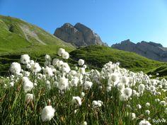 Linaigrette au lac de Peyre / Haute-Savoie / Alpes