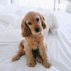 Golden Retriever Puppy<<< pretty sure that is a cocker spaniel but ojay Cute Puppies, Cute Dogs, Dogs And Puppies, Doggies, Silly Dogs, Fun Dog, Baby Dogs, Boxer Puppies, Animals And Pets