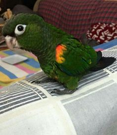 Fiery shouldered conure