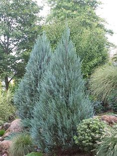 Plant-of-the-Day:  Moonglow Juniper