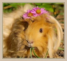 Guinea Pig  Photo by Inna ~ See my flower Hat :)