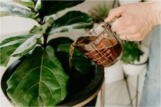 coffee plant The Number 1 Thing I Do w/ Leftover Coffee That Has Nothing to Do with Drinking It! Fertilizer For Plants, Organic Fertilizer, Liquid Fertilizer, House Plants Decor, Plant Decor, Coffee Plant, Drip Coffee, Coffee Coffee, Drinking Coffee