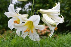 Lilium regale - Rega
