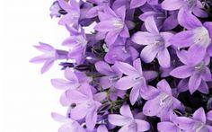 Purple Fl