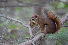 Wildlife Photography, Red Squirrel Photograph, Fine Art Photography, Home Office Wall Decor, Animal Photography, nature, Squirrel, Wall Art