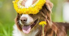 Is Dandelion Good for Dogs?