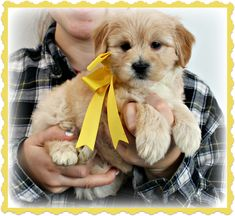 Check out our list of all upcoming Goldendoodle litters and Double Doodle litters below. Please fill out the puppy application and we will contact you. Toy Goldendoodle, Faith Based Movies, Double Doodle, Breads, Doodles, Puppies, Dogs, Animals, Bread Rolls