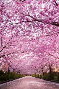 Sakura path, Japan