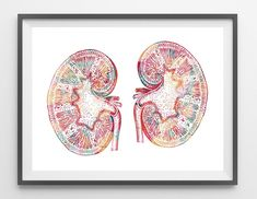 Kidneys watercolor print - MimiPrints - All The Prints You Want !
