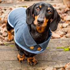 Are you interested in our Dachshund Waterproof Dog Coat? With our Waterproof Dog Coat you need look no further.This little waterproof dog coat has been designed with your Dachshund in mind! So why not treat your little long dog to a super quality waterproof coat for those wet days, as being a short haired breed, they do hate the rain and the cold! Long haired Dachshunds also love these coats. All of our dog coats are made by us here in the UK, to ensure supurb quality for every item…
