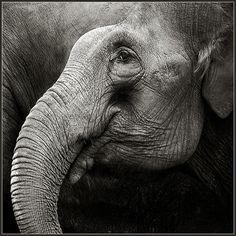 black and white photographed animals | Elephant | black and white, elephant