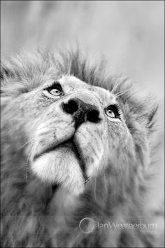 Lion Gazing Up by Ian Weatherburn on www.digitalgallery.co.za