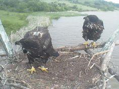 Sutton Center - George Miksch Sutton Avian Research Center | Live Bald Eagle Nest Camera