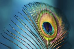 peacock feather displays a rainbow of colors