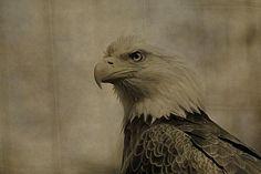 Sepia Bald Eagle Portrait