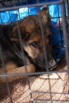 Pyrimme ensisijaisesti tuomaan kotihoitoon koiria, joiden selviäminen tarhalla on vaikeaa tai kodinsaantimahdollisuudet ovat muuten huonot, esimerkiksi loukkaantuneita, arkoja, vanhuksia, aliravittuja, pentuja tai tavallisen näköisiä koiria. Tämän viikon kyydissä saapuikin kolme hoitopaikkaa kipeästi kaivannutta koiraa, Toska-mummo, Bandi ja Rulla. Suoraan omiin koteihinsa matkustivat Jymy ja Artoshka. http://www.viipurinkoirat.fi/kodin-saaneita-koiria-2342015…