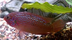 15 Awesome Types of Cichlids for Your Tank (Cichlid Species Guide) Cichlid Fish, Cichlids, Free Pictures, Free Images, Aquarium Fish, Type, Awesome
