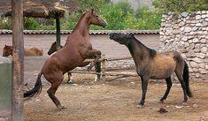 GET BACK!  :-)  Peruvian Paso Horses