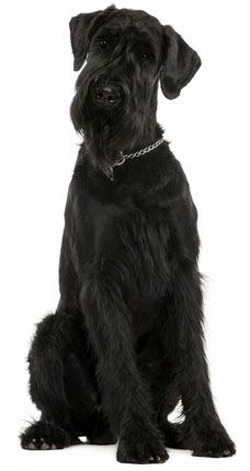 Giant Schnauzer - I'm not sure which I like better, the floppy ears, or the pointed ones.