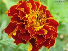 Happy October!! October's birth flower is the Marigold. With its intense color, it's no wonder the marigold is the symbol of passion and creativity.