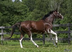 Puchi Trap, 1995 Thoroughbred mare (Puchilingui x She's A Trap, by American trader), W5