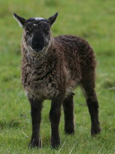 Guys, it's a freaking geep: a goat-sheep cross!