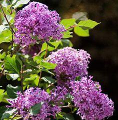 Flowering Shrubs, hardy perennial blooming bushes, Honeyberry, Blueberry Honeysuckle, Haskap, Lonicera caerulea, Goji Berry, Lycium barbarum, Chinese Wolfberry, Sweet Lifeberry